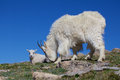 Grazing mountain goat with kid a nanny and her in the high alpine Stock Images