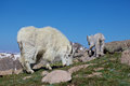 Grazing mountain goat nanny and baby a her kid in the high alpine Royalty Free Stock Photography