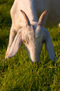 Grazing nubian goat young whiter at sundown Stock Photos
