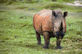 Grazing rhino black in a national park of south africa Royalty Free Stock Image