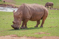 Grazing rhino white on grass Royalty Free Stock Image