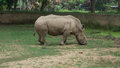Grazing rhinoceros Royalty Free Stock Photo