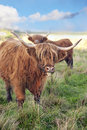 Grazing scottish highland cow Royalty Free Stock Photography