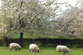 Grazing sheep in fruityard in full blossom netherlands on a sunny warm spring day the hilly country the south of the province Royalty Free Stock Images