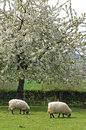 Grazing sheep in fruityard in full blossom netherlands on a sunny warm spring day the hilly country the south of the province Royalty Free Stock Image