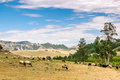 Grazing sheep and goats on grassland landscape Royalty Free Stock Photo