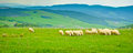 Grazing sheep on the hills surrounding volterra tuscany italy Stock Image