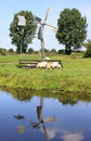 Grazing sheep near little dutch watermill Royalty Free Stock Images