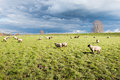 Grazing sheep on pasture next to a dike Royalty Free Stock Photo