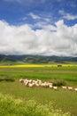 Grazing sheep Royalty Free Stock Photo