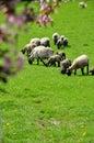 Grazing sheep spring Royalty Free Stock Photo