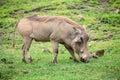 Grazing warthog in savannah