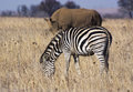 Grazing wildlife a zebra in the foreground with a out of soft focus rhino in the background Stock Photo