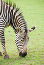 Grazing zebra Stock Photos