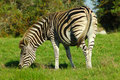 Grazing Zebra Stock Photo