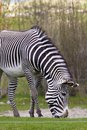 Grazing zebra Stock Image