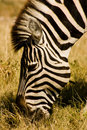Grazing Zebra Royalty Free Stock Photo