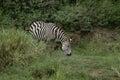 Grazing zebra one single in lake manyara tanzania Royalty Free Stock Photos