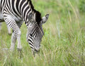 Grazing zebra with veld a green on one side Stock Photos