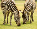 Grazing Zebras Royalty Free Stock Photo