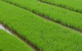 Grean rice field green fields this where the of plants are grow from seeds before being move to the the real planting zone when Stock Image