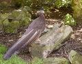 Great argus pheasant (Argusianus argus) Stock Photos