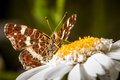 Great banded grayling brintesia circe brown butterfly on a marguerite Royalty Free Stock Photography