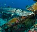 Great barracuda, Sphyraena barracuda, on the Spiegel Grove wreck Royalty Free Stock Photo