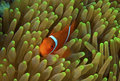 Great barrier reef clown fish (nemo) Royalty Free Stock Photo