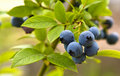 Great bilberry Stock Photo