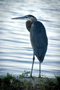 Image : Great blue heron model smoky down