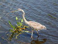 Great Blue Heron (Ardea herodias) Stock Photography
