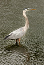 Great Blue Heron (Ardea herodias) Royalty Free Stock Photo