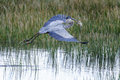 Great blue heron, ardea herodias Stock Image