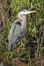 Great Blue Heron (Ardea Herodias) Royalty Free Stock Images