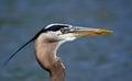 Great Blue Heron (Ardea herodias) Stock Image