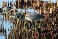Great blue heron ardea herodias a in california Stock Photos