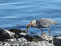 Great Blue Heron (Ardea herodias) with catch Stock Image