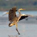 Great blue heron ardea herodias danube delta Stock Photography