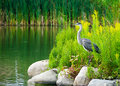 Great blue heron the ardea herodias is a large wading bird in the family ardeidae common near the shores of open water and Royalty Free Stock Photo