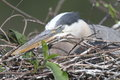 Great blue heron ardea herodias on a nest in the florida everglades Stock Images