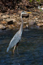 Great blue heron ardea herodias standing in a stream Stock Photo