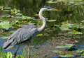 Great blue heron ardea herodias wading at waters edge in florida everglades Stock Photo