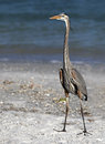 Great blue heron ardea herodias walking on beach walks along fishing in the gulf of mexico Royalty Free Stock Photography