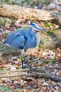 Great Blue Heron walking in the Chesapeake and Ohio Canal National Historical Park.Maryland.USA Royalty Free Stock Photo