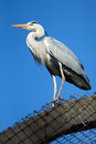 Great blue heron ardea herodias wild life animal Royalty Free Stock Photography