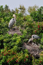 Great Blue Heron babies Stock Image