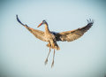 Great Blue heron begins a landing with wings wide Royalty Free Stock Photo