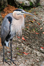 Great Blue Heron Bird Royalty Free Stock Images
