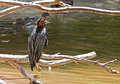 Great Blue Heron Bird on River Stock Photography